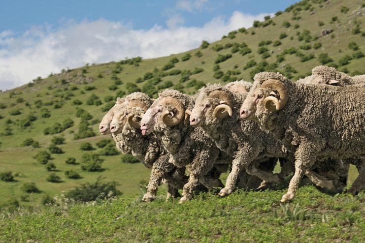 Merino Rams, New Zealand
